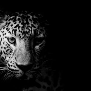 Black & White Leopard