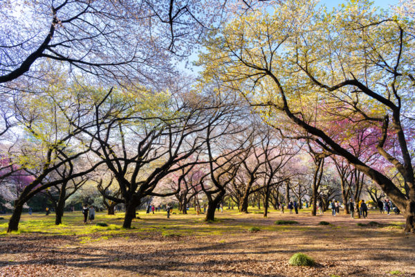 Majestic Sakura Trees landscape photography canvas and framed wall art