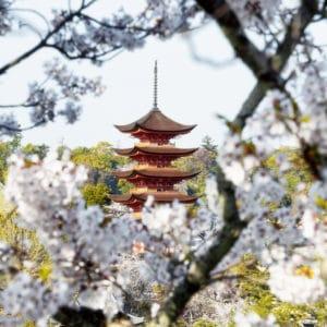 Miyajima Pagoda Sakura landscape photography canvas and framed wall art