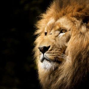 Lion View surreal digital wall art prints