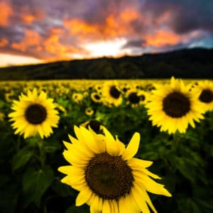Maui Sunflowers landscape photography canvas and framed wall art