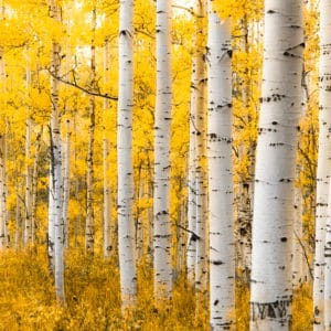 Yellow Forest landscape photography canvas and framed wall art